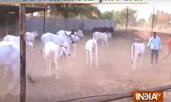 A Muslim family in Pune has been running a cow shelter for- India Tv