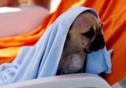 A dog is seen covered with a towel at dog beach and bar in