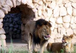 Crackdown on slaughterhouses forces lions, tigers to