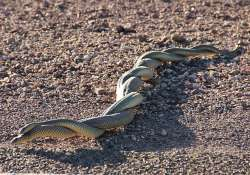 Sex obsession is killing male snakes, study reveals