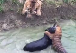 chinese zoo fed live donkey to tigers