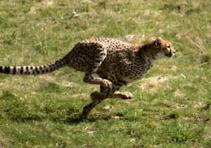 Cheetah numbers may be lower than estimated- India Tv