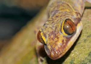 Researchers name newly discovered lizard species after THIS- India Tv