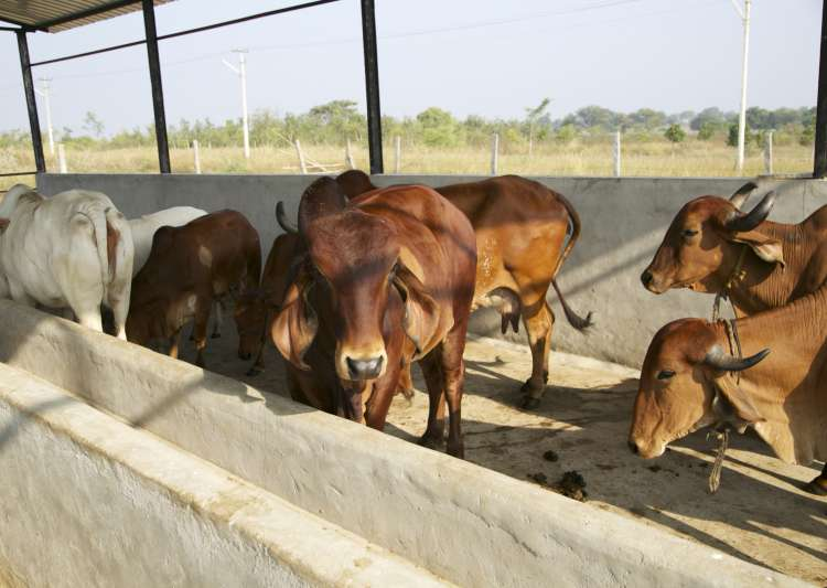 Rajasthan imposes 10 pc cow cess on stamp duty for cow- India Tv