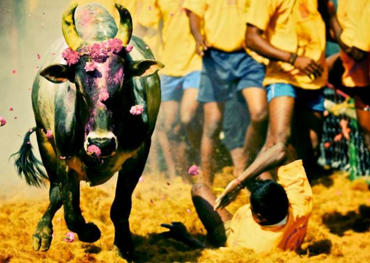 File pic - Two dead, 80 injured in Jallikattu event in- India Tv