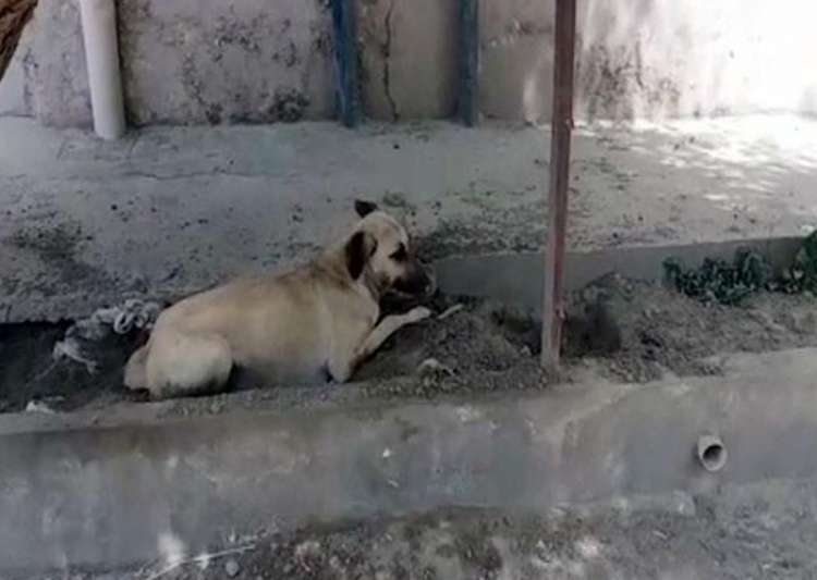Dog sentenced to death in Pakistan for biting child- India Tv