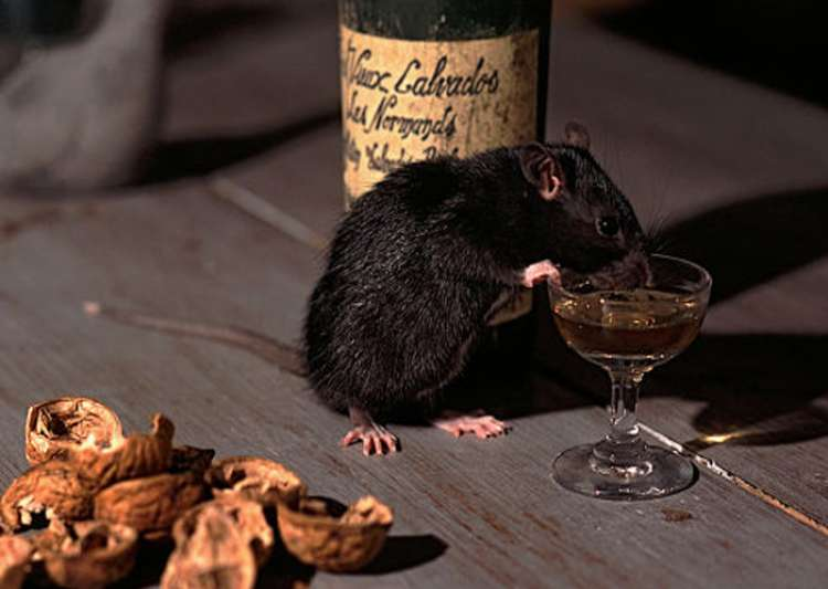 Rats drank Alcohol, insists Bihar Police- India Tv