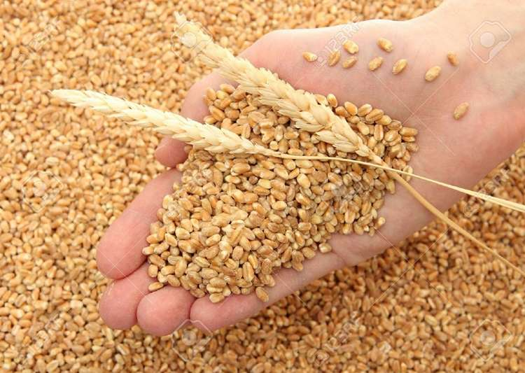 Govt agencies may miss this year's 33 MT wheat