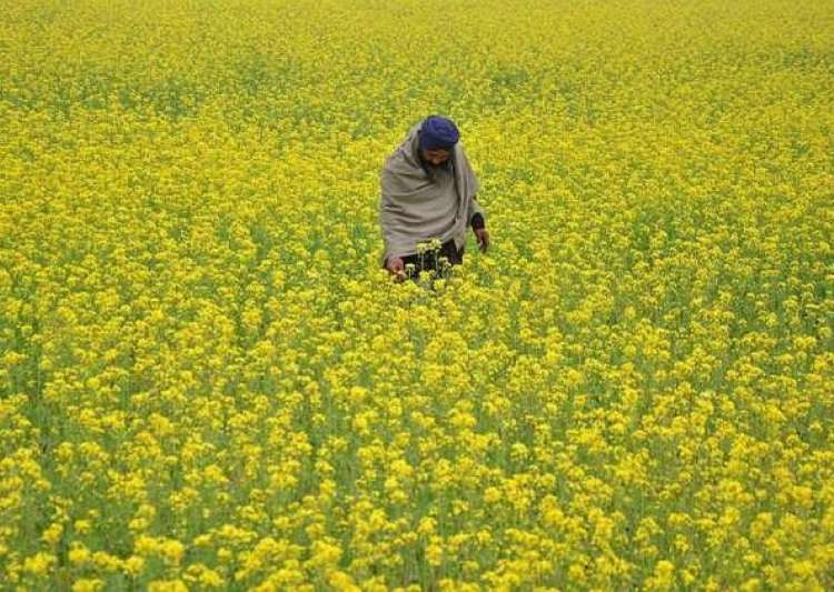 Take considered view on allowing GM mustard crop, SC tells- India Tv