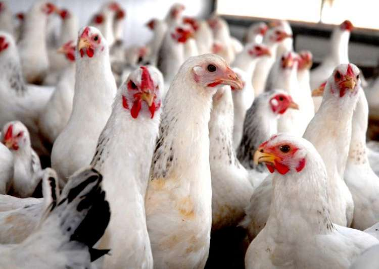 Indian poultry farms are breeding grounds for antibiotic-resistant pathogens, study finds