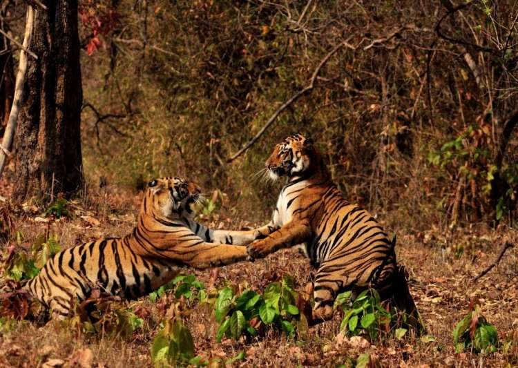 Report says villagers near Pilibhit Tiger Reserve sending- India Tv