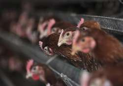 experts approve eating poultry in china despite bird flu