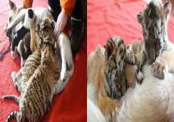 incredible dog in china becomes surrogate mother to tiger