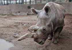 us endangered white rhino dies at san diego zoo