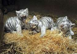 white tiger escapes from enclosure in czech zoo