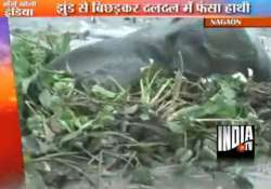 assam villagers rescue elephant cub from marshy land