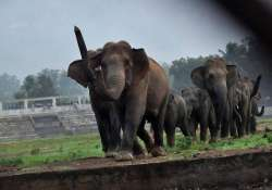 elephant herd invades bisra maidan in odisha
