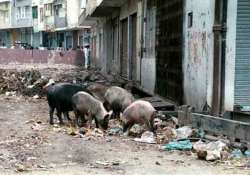 stray pigs banned in gurgaon