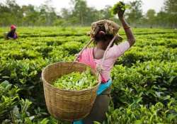 erratic weather impacts tea production in india