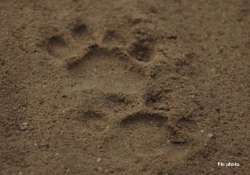 leopard pug marks found in tamil nadu village