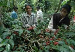 heavy rains pest brew trouble for coffee planters