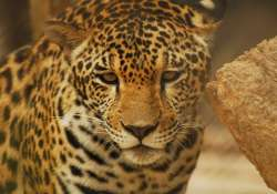 leopard rescued from dry well in tamil nadu