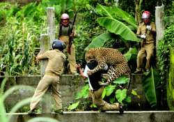 man killed woman injured in separate leopard attacks