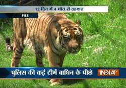 shoot order issued for maneater tigress in bijnore