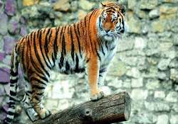 straying tiger pits wildlife activists against locals