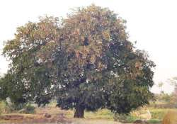 this tamarind tree brings luck for candidates