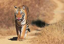 tiger strays into up village mauls two people