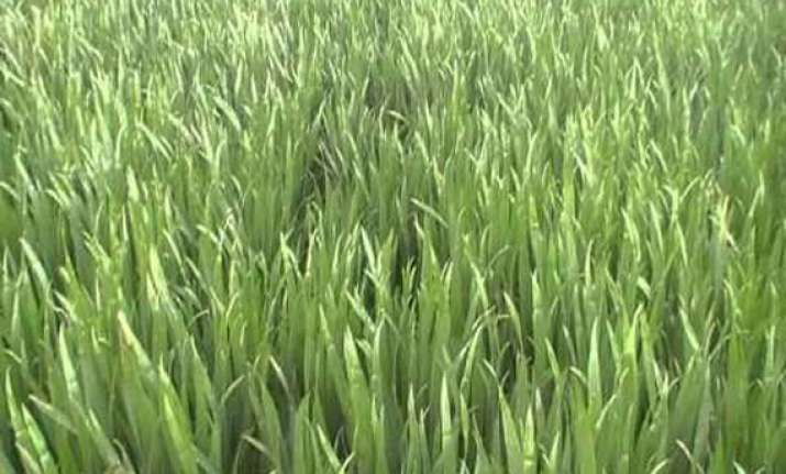 yellow brown rust attack wheat in punjab haryana