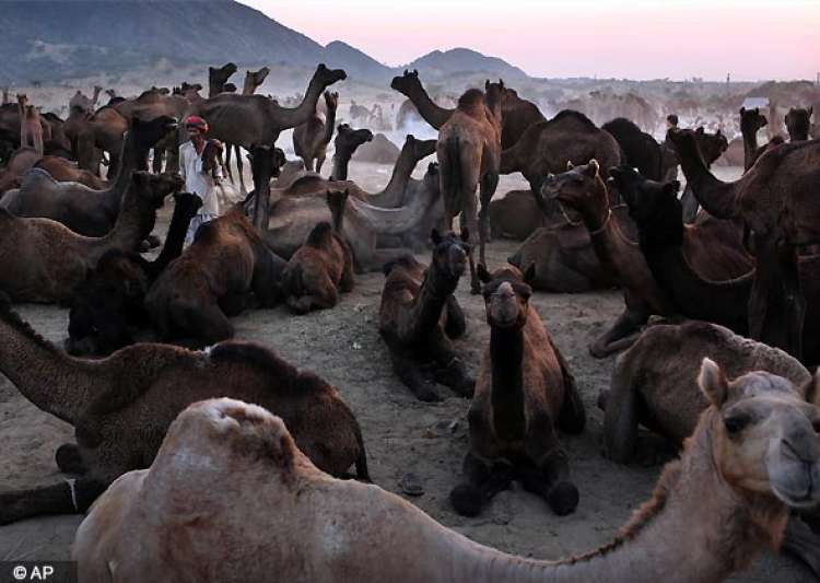 camels at rajasthan pushkar fair- India Tv