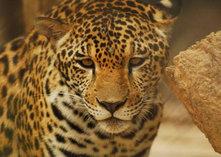 leopard rescued from dry well in tamil nadu- India Tv