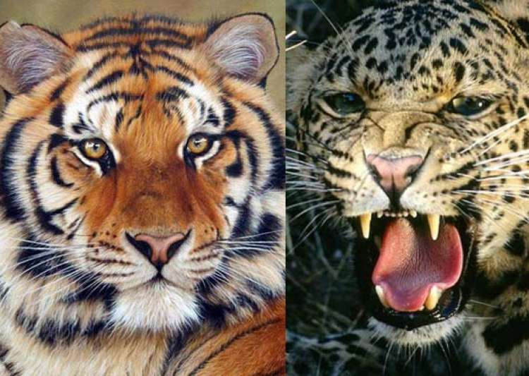 tigers leopards can be killed if they threaten humans- India Tv