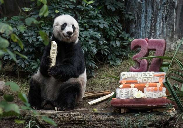 oldest giant panda dies