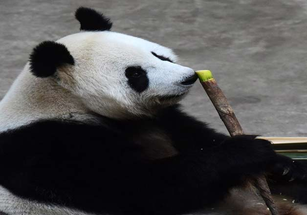 India Tv - The world's oldest giant panda in captivity, Jia Jia, has died