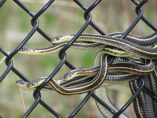 India Tv - Sex obsession is killing male snakes, study reveals