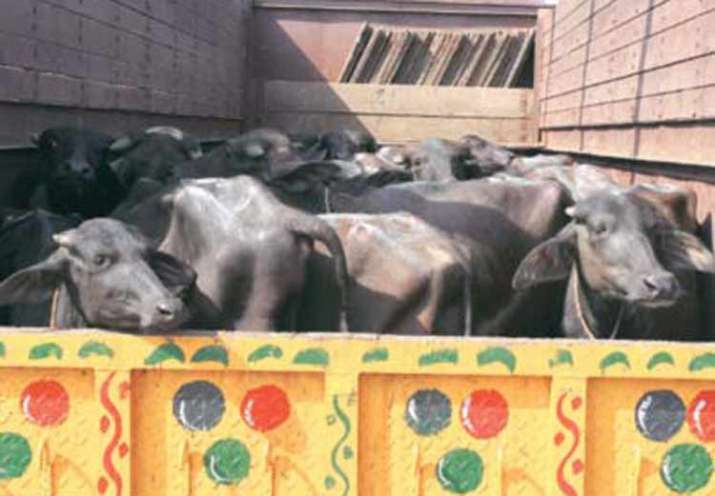 Three men transporting buffaloes allegedly beaten up by