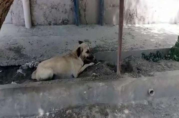 Dog sentenced to death in Pakistan for biting child