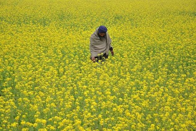 Take considered view on allowing GM mustard crop, SC tells