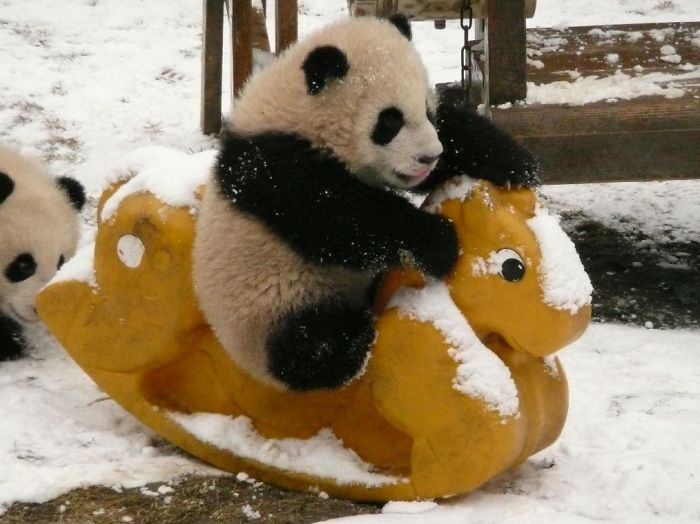 India TV - pandas are black and white to hide in the snowy habitats.