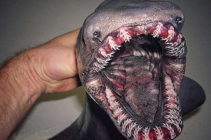 Last December, a fisherman called Roman Fedortsov uploaded a picture to Twitter of a frilled shark he caught in Russia.