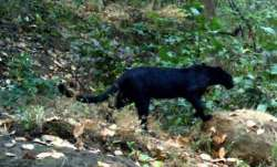 Panther in pink city: Frantic search for big cat continues in Jaipur (Representational image)