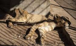 In this Tuesday, Jan. 21 photo, a malnourished lion rests
