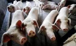 New infectious virus outbreak reported in Poland; 33,000 pigs infected in 20 days