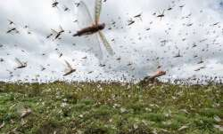 Locusts enter Chhattisgarh forest area from MP