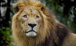 4 Lions infected by Covid delta variant in Tamil Nadu's