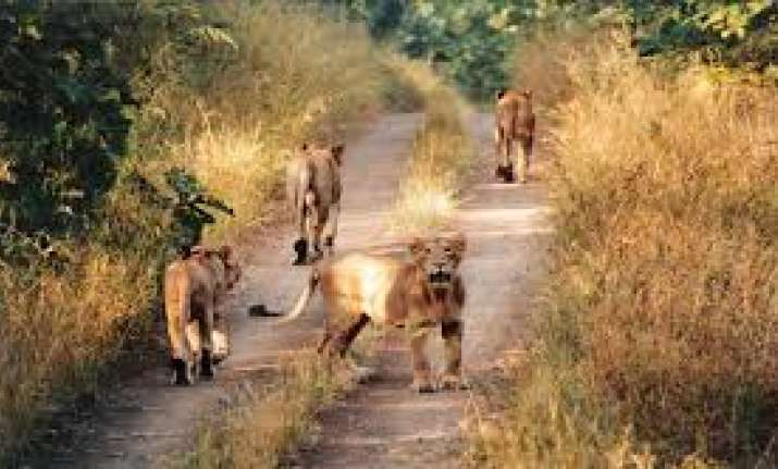 17 Gir lions held as suspects for murders, three sentenced