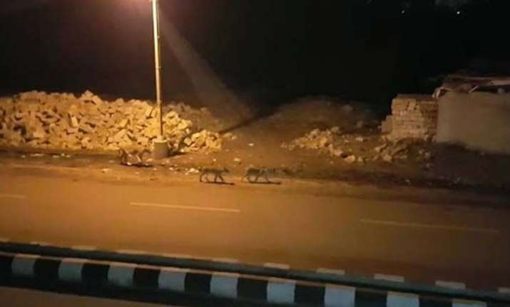 Eight lions moving stealthily through Gujarat's streets